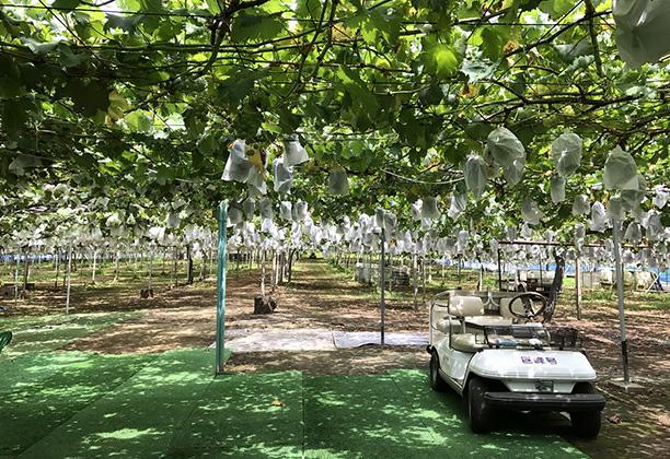 小泉ぶどう園 ※8月中旬から9月中旬まで